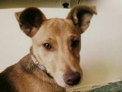 Ginger, chien Pinscher