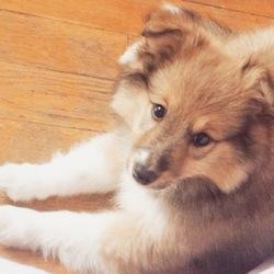 Lexie, chien Berger des Shetland