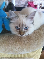 Ginger, chat Birman