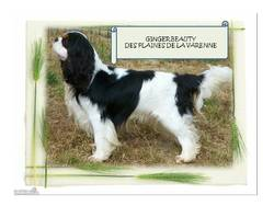 Ginger   Beauty , chien Cavalier King Charles Spaniel