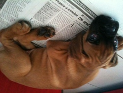 Gingle, chien Boxer