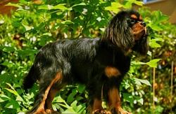 Gini, chien Cavalier King Charles Spaniel
