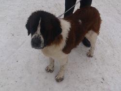 Gini, chien Saint-Bernard