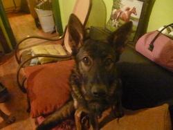 Gini, chien Berger allemand