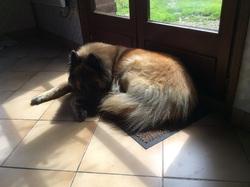 Ginka, chien Berger belge