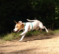 Ginkgo, chien Jack Russell Terrier