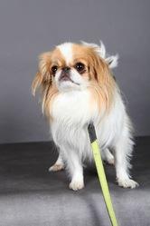 Ginko, chien Épagneul japonais
