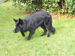 Ginko, chien Berger allemand