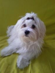 Ginny, chien Bichon maltais