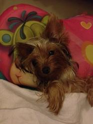 Ginny, chien Yorkshire Terrier