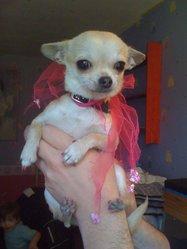 Ginny, chien Chihuahua