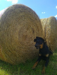 Ginny, chien Beauceron