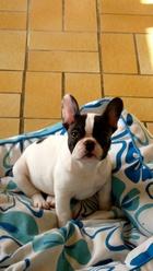 Gino, chien Bouledogue français