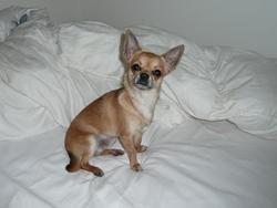 Gino, chien Chihuahua