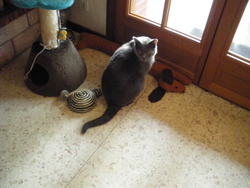 Gino, chat Chartreux