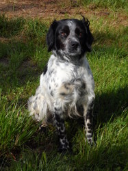 Gino, chien Épagneul breton