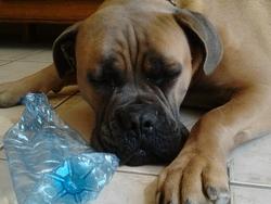 Gino, chien Cane Corso