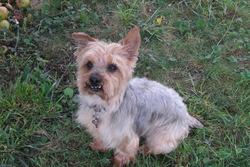 Gino, chien Yorkshire Terrier