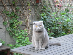 Gino, chat Scottish Fold