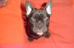 Ginto, chien Bouledogue français