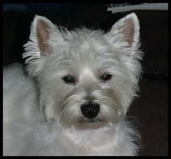 Giny, chien West Highland White Terrier