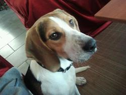 Giny, chien Beagle-Harrier