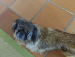 Ginza, chien Pékinois