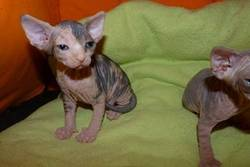 Gio, chat Sphynx