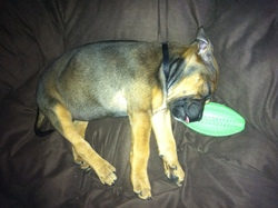 Gioia, chien Staffordshire Bull Terrier