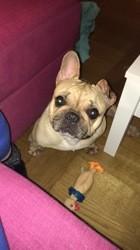 Gioia, chien Bouledogue français