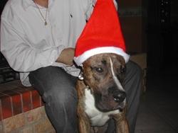 Gips , chien Boxer