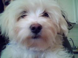 Gips Dit Ninou, chien Bichon maltais