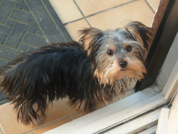 Gipsie, chien Yorkshire Terrier