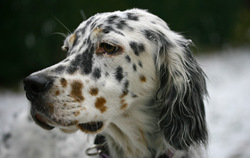 Gipsy, chien Setter anglais