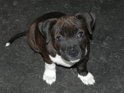 Gipsy, chien Staffordshire Bull Terrier