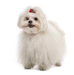 Gipsy, chien Bichon maltais