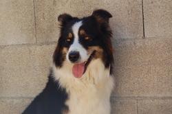 Gipsy, chien Berger australien