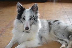 Gipsy, chien Berger des Shetland