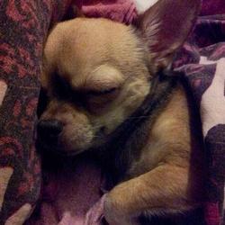 Gipsy, chien Chihuahua