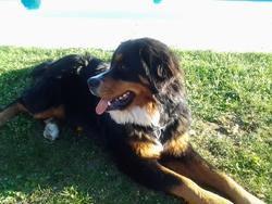 Gipsy, chien Bouvier bernois