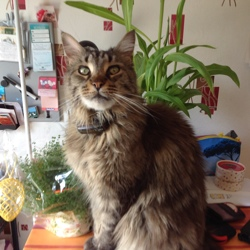 Gipsy, chat Maine Coon