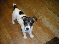 Gipsy, chien Jack Russell Terrier