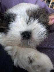 Gipsy, chien Shih Tzu