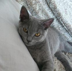 Gipsy, chat Chartreux