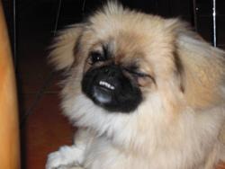 Gipsy, chien Pékinois