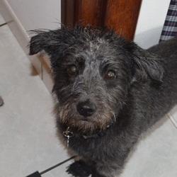 Gipsy, chien Bichon à poil frisé