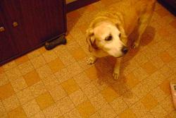 Gipsy, chien