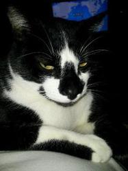 Gipsy, chat Européen