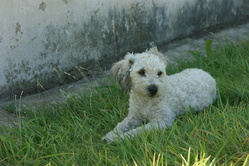 Gipsy, chien Caniche