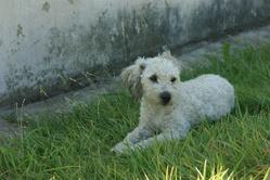Gipsy, chien Caniche